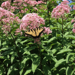 Swallowtail-on-JoePyeWeed_tn